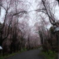 桜を見に・・・