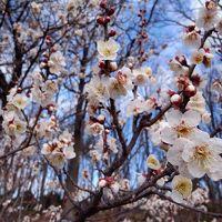 府中散策 武蔵国総社・大国魂神社〜早咲きの梅