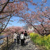初めて見る河津桜ひとり旅