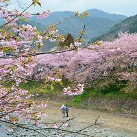 静岡・河津「桜」