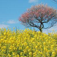 茨城花巡り 国営ひたち海浜公園のスイセンと偕楽園の残り梅をみに