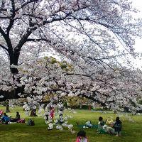 2016桜、播磨坂の桜並木〜小石川植物園