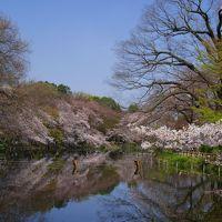 桜サクラさくら〜♪@出勤前の井の頭公園