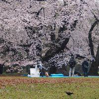 目黒川、千鳥ヶ淵、砧公園、夜桜ならぬ朝桜を見に行く。