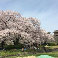 桜満開の福岡城跡を気ままにぶらり旅