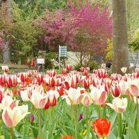大阪府立「花の文化園」 、春の花々に魅せられて〜 (チューリップ・ボタン・ユキモチソウ)