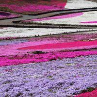 【花】芝桜まつり2016@秩父 羊山公園 芝桜の丘
