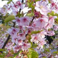 桜の鹽竈神社へ    塩竈市  宮城県