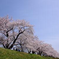 逃げる桜前線を追って【3】〜当たり年の角館の桜〜