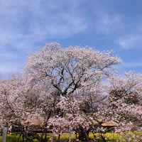 春富士を観に駿河路へ【2】〜田貫湖一周と駒止の桜〜