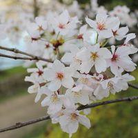 桜満開の広島旅行
