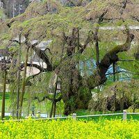 三春滝桜A 花は散っても枝振り見事 ☆5年ぶりの同日訪問で
