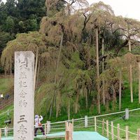三春瀧櫻B  見上げる雄姿〜柵際まで近づき   ☆ベニシダレザクラの巨木