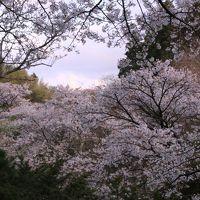 新幹線とレンタカーで巡る福島「花紀行」 (4)見頃を逃してしまった三春の枝垂桜