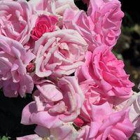 神代植物公園3/6 バラ園a 新種花コンクールなど ☆野生種・オールドローズも