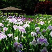 20,000株の花菖蒲と 紫陽花♪6月だけ開園する「染谷花しょうぶ園」と大宮氷川神社