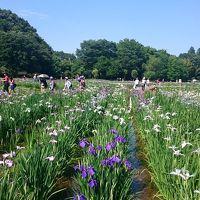 暑い〜!この夏初の猛暑日、10万本の花菖蒲が咲き誇る『東村山菖蒲まつり』 駅からハイキング