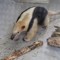 ミナミコアリクイのちびっこ≪野毛山動物園≫