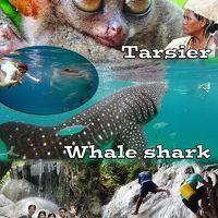 小さいメガネザル 『 Tarsier (ターシャ) 』 と世界一大きい魚類 『 Whale shark ( ジンベイザメ ) 』 を撮影しにセブ島へ & Adventure waterfall 『 Aguinid Falls ( アグイニッド滝 ) 』