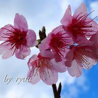 日本一早い桜祭りへ