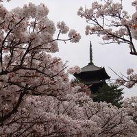 奈良→京都、遅めの桜2