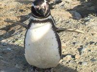 【世界一周】4-9.変化に富んだチリ 再び �フォトジェニックなペンギン