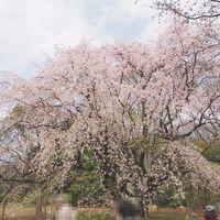 六義園のしだれ桜を見に行こう!