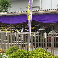 気儘な一人旅(88) 播磨町 役場の菊花展を見せて貰いました。