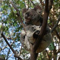 2016年10月 オーストラリア旅行3日目♪かわいいコアラ♪カンガルー♪