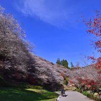 2016紅葉(8) 四季桜と紅葉のコラボ  川見四季桜の里