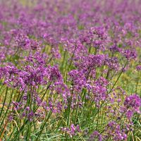 紫色の花らっきょと三国湊の町歩き(福井)