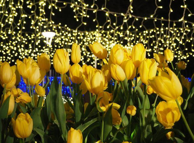 朝から天気がすっごく快晴で風もなく気温も暖かい土曜日☆彡<br />もう何十年も行っていなかった藤沢江ノ島へ行って来ました。<br />ウィンターチューリップが咲いているという、江ノ島サムエル・コッキング苑が目的でしたが、お花の方は10日位遅かったも(苦笑)<br /><br />チューリップを見て1度は帰ろうとしたのですが、せっかくなので江ノ島の夕陽も見に行ようとまた江ノ島に戻りました。<br />この時間になれば湘南の宝石イルミネーションも見たいとなって。<br /><br />久々の観光地、江ノ島をゆったりと散策できて満喫しました♪<br />