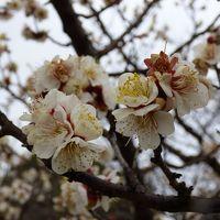 2017年度の『第26回佐布里池梅祭り』は始まっています。