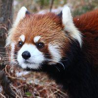 初・山口福岡レッサーパンダ遠征はこの冬最大の寒波到来(6)大牟田市動物園:再会したまいちゃんはハイテンション&もてもてそらちゃんには十分会えたけど、きらきらレンくんはすぐに寝てしまって消化不良&キリンのプリンちゃんにも再会&熊本から避難中のユキヒョウのスピカちゃん他
