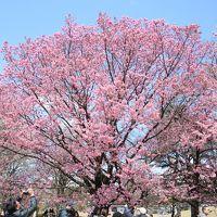 新宿御苑の桜ウォッチング:陽光が見頃を迎えました♪