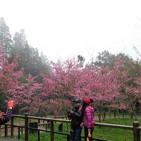 2017-03 阿里山・林鐵・達邦 嘉義逍遥19 阿里山の桜と阿里山香林神木