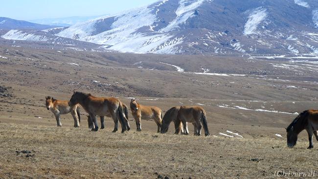 ウランバートルから西に約100㎞、<br />世界最後の野生馬といわれる「タヒ」が生息するホスタイ国立公園を日帰りで訪問。<br /><br />冬の時期はほとんど観光客が来ない場所ですが、<br />だからこそ、雄大な景色を独り占めできました!!<br /><br />▼詳細はこちらの旅行記も併せてご覧ください。<br />http://tabinomori.com/travel-blogs/asia/mongolia/ulaanbaatar/<br />