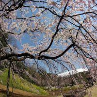 しだれ桜満開の小石川後楽園へ