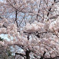 新宿御苑、満開の桜が待ってました!