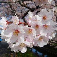 2017川越氷川神社した桜S.T