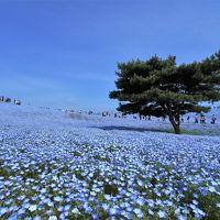 【2015年4-5月】GW(前編)茨城県、ネモフィラの丘