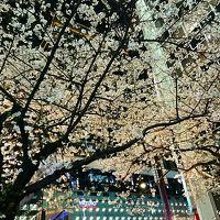 2017年4月 東京夜桜めぐり♪上野公園〜六義園〜日本橋さくら通り♪
