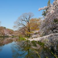 青空に桜咲く@出勤前の井の頭公園2017
