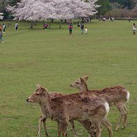 雨だけど桜の奈良に行ってきた