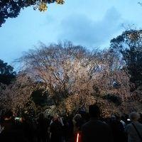 六義園のしだれ桜を観に行ってみた♪