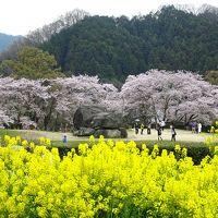 さくら咲く… 大和し うるはし… ◇ 飛鳥から吉野の千本桜へ