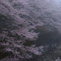 京都 桜めぐり〜和らぎの道、善峯寺、正法寺、向日神社、御香宮神社