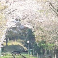 [至急!] 京都の桜の満開〜終盤 桜の見どころを探してきました。