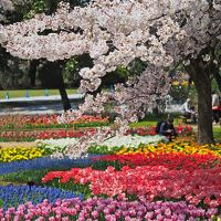 ふりそそぐ桜のシャワー 昭和記念公園チューリップ