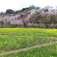 福島県へバスツアーで花見旅行へ(2)ー圧巻の花見山ー